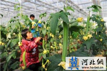 """衡水市桃城区邓庄镇农家大棚托起绿色""""致富梦"""""""