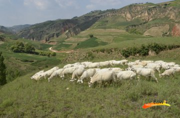 从陕北农村到河北清河  崔应国的绒山羊扶贫情结