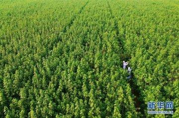 河北冀州:航天育种引领现代农业高效发展