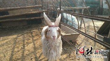 稀奇!永清县一只绵羊长了四只角(图)
