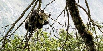 好消息!四川发现新的大熊猫栖息地