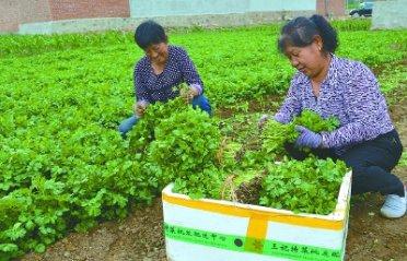 平泉市大力发展蔬菜产业