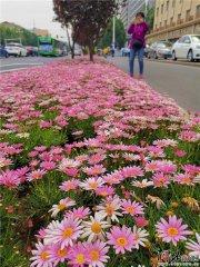 石家庄5条路要种40种花 柳叶草科月见草属新品种