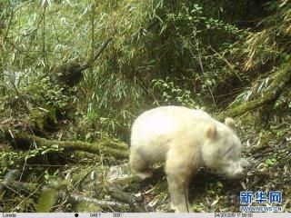 四川卧龙拍摄到首张白色大熊猫照片