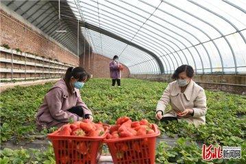 张家口市下花园区:草莓映红增收路