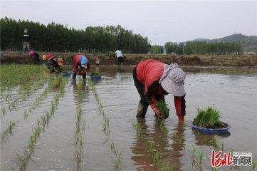 承德隆化:稻田插秧忙