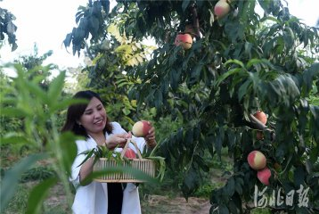 河北定州:培育高端果品 助力乡村振兴